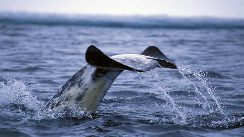 Kỳ lạ loài cá mọc sừng như kỳ lân trong truyền thuyết - Ảnh 7.