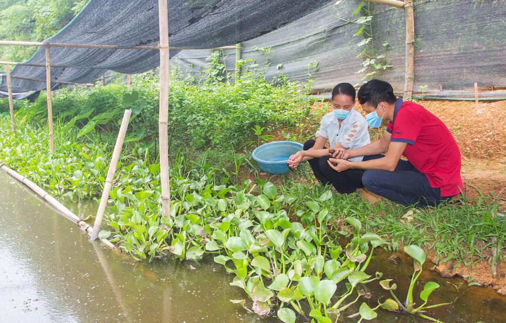 Thái Nguyên: Nuôi ốc đặc sản la liệt ở ruộng trũng, ai ở đây nhà nào nuôi cũng thành triệu phú - Ảnh 1.