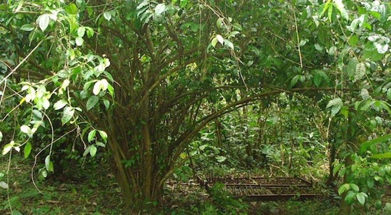 """Trải nghiệm nghi lễ của thổ dân Kichwa Añangu với """"cây thiêng"""" giúp gia tăng hưng phấn tình cảm - Ảnh 5."""