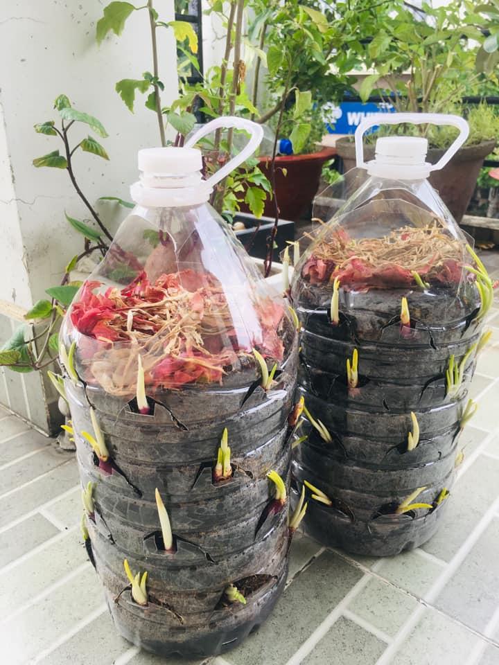 Tận dụng can nhựa mẹ đảm Cần Thơ biến sân thượng thành khu vườn xanh mát - Ảnh 6.