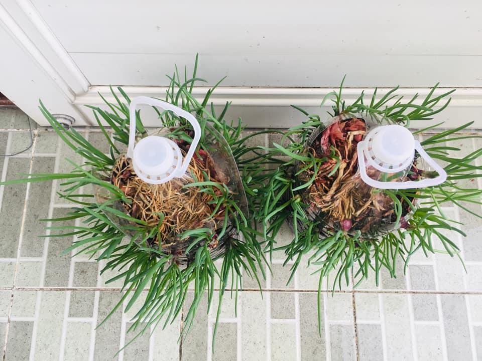 Tận dụng can nhựa mẹ đảm Cần Thơ biến sân thượng thành khu vườn xanh mát - Ảnh 4.