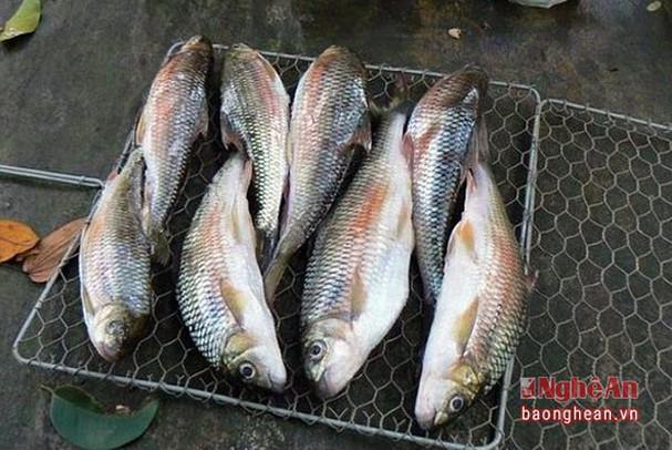5 loài cá đặc sản nào quý hiếm nhất ở miền Tây tỉnh Nghệ An, có loài cá tên là tịt mũi không? - Ảnh 6.