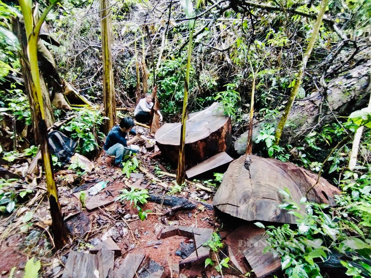 """Vụ phá rừng nghiến """"khủng"""" nhất Việt Nam: Hà Giang thừa nhận hơn 710m3 gỗ nghiến bị tàn phá trong rừng đặc dụng Du Già - Ảnh 1."""