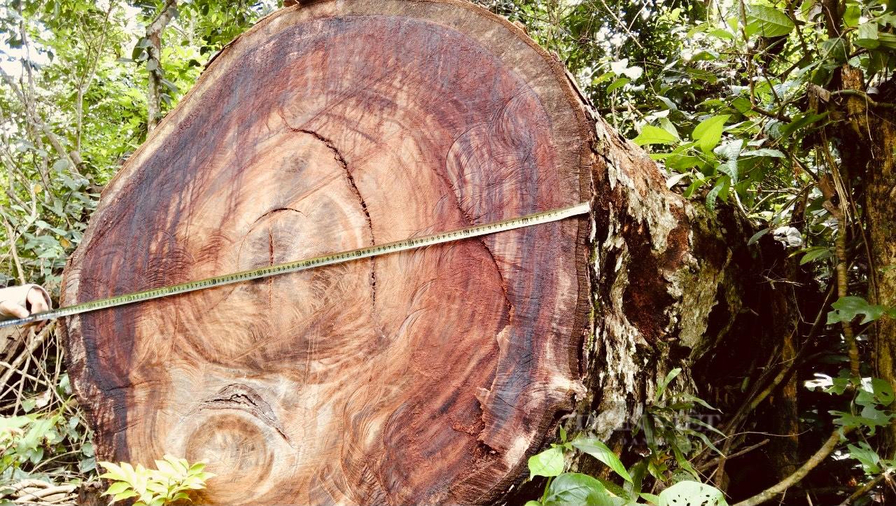 """Vụ phá rừng nghiến """"khủng"""" nhất Việt Nam: Hà Giang thừa nhận hơn 710m3 gỗ nghiến bị tàn phá trong rừng đặc dụng Du Già - Ảnh 3."""