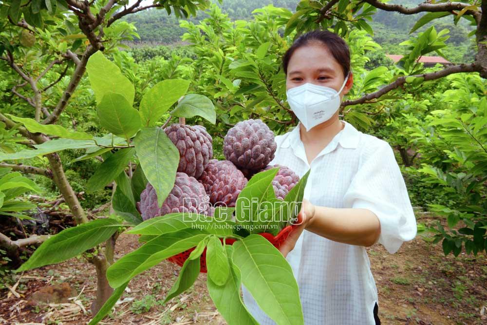 2 loại na độc lạ ở Bắc Giang: 1 loại tím lịm tìm sim, 1 loại cực khủng mỗi quả nặng gần 1kg - Ảnh 2.