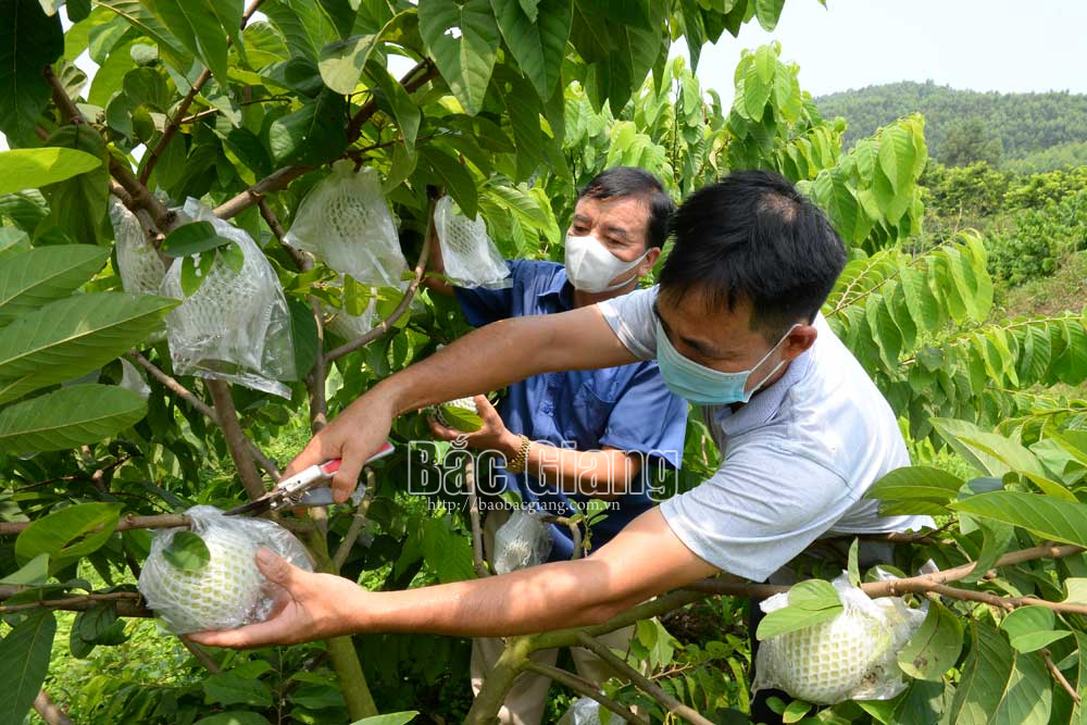 2 loại na độc lạ ở Bắc Giang: 1 loại tím lịm tìm sim, 1 loại cực khủng mỗi quả nặng gần 1kg - Ảnh 1.