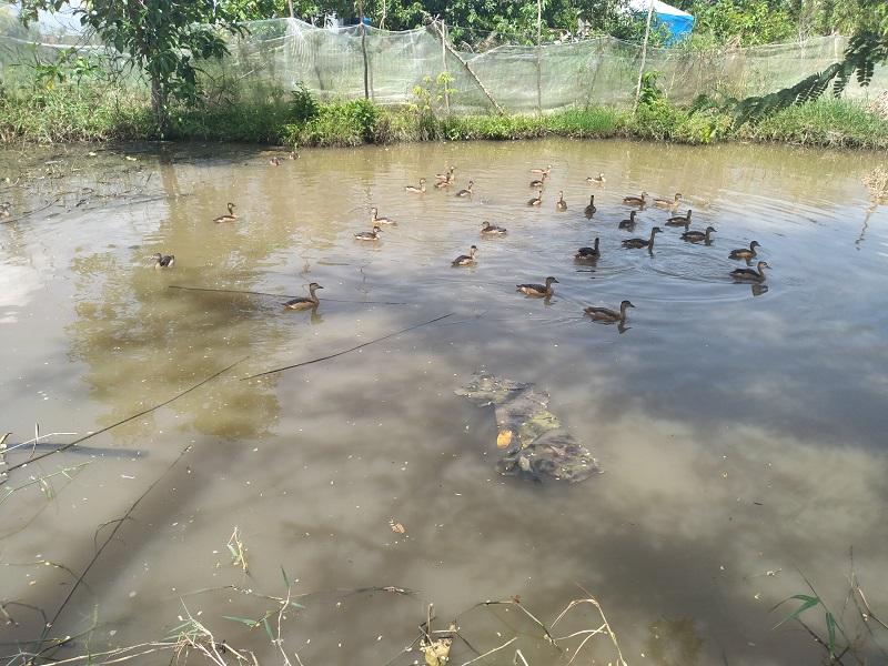 Nuôi chim trời lạ đời, ông nông dân tỉnh Cà Mau cứ bán 1 con be bé cũng có giá cả trăm ngàn đồng - Ảnh 3.