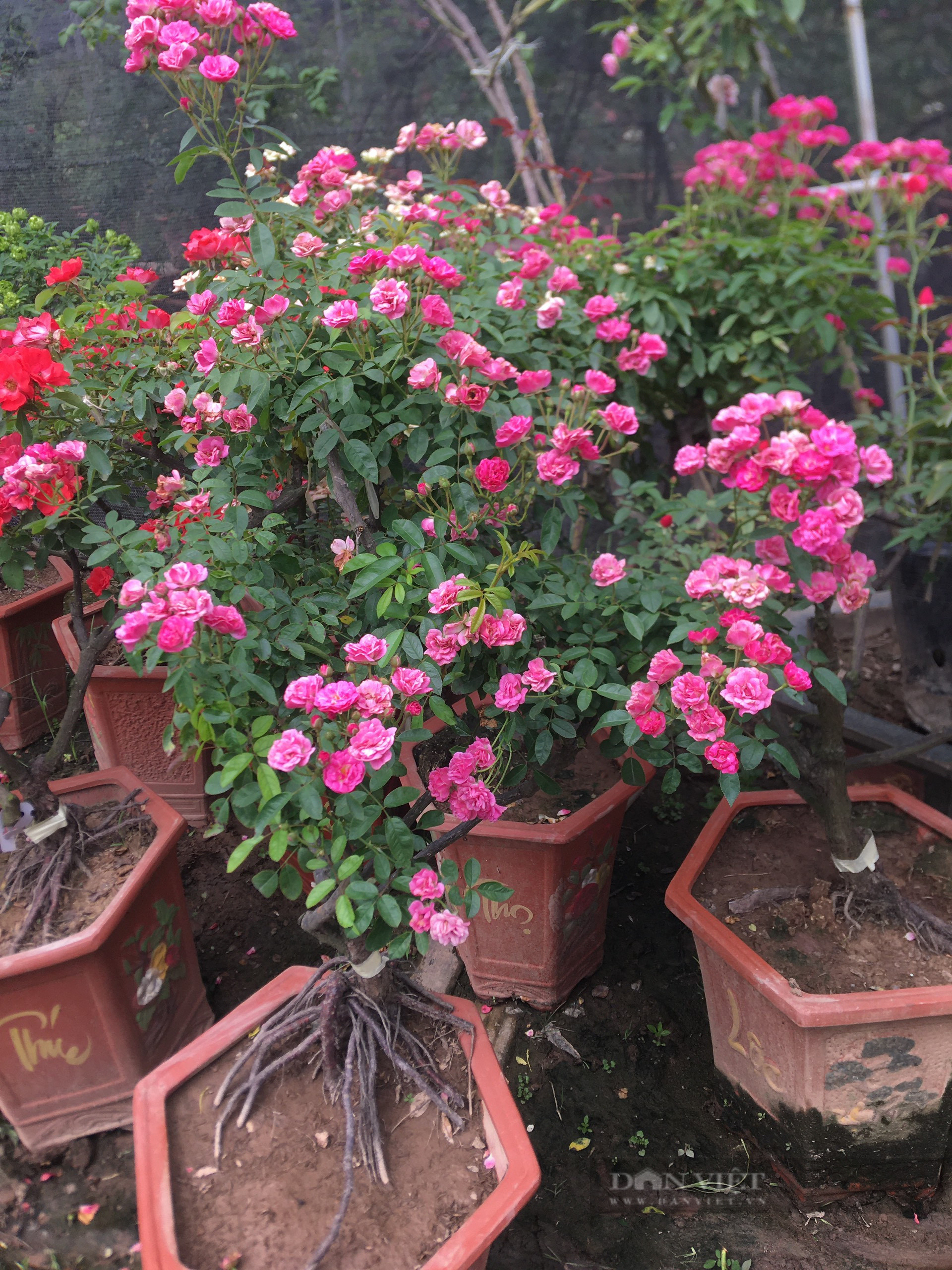 Thanh niên Mê Linh và ước mơ biến Hà Nội thành rừng hồng rực rỡ - Ảnh 6.