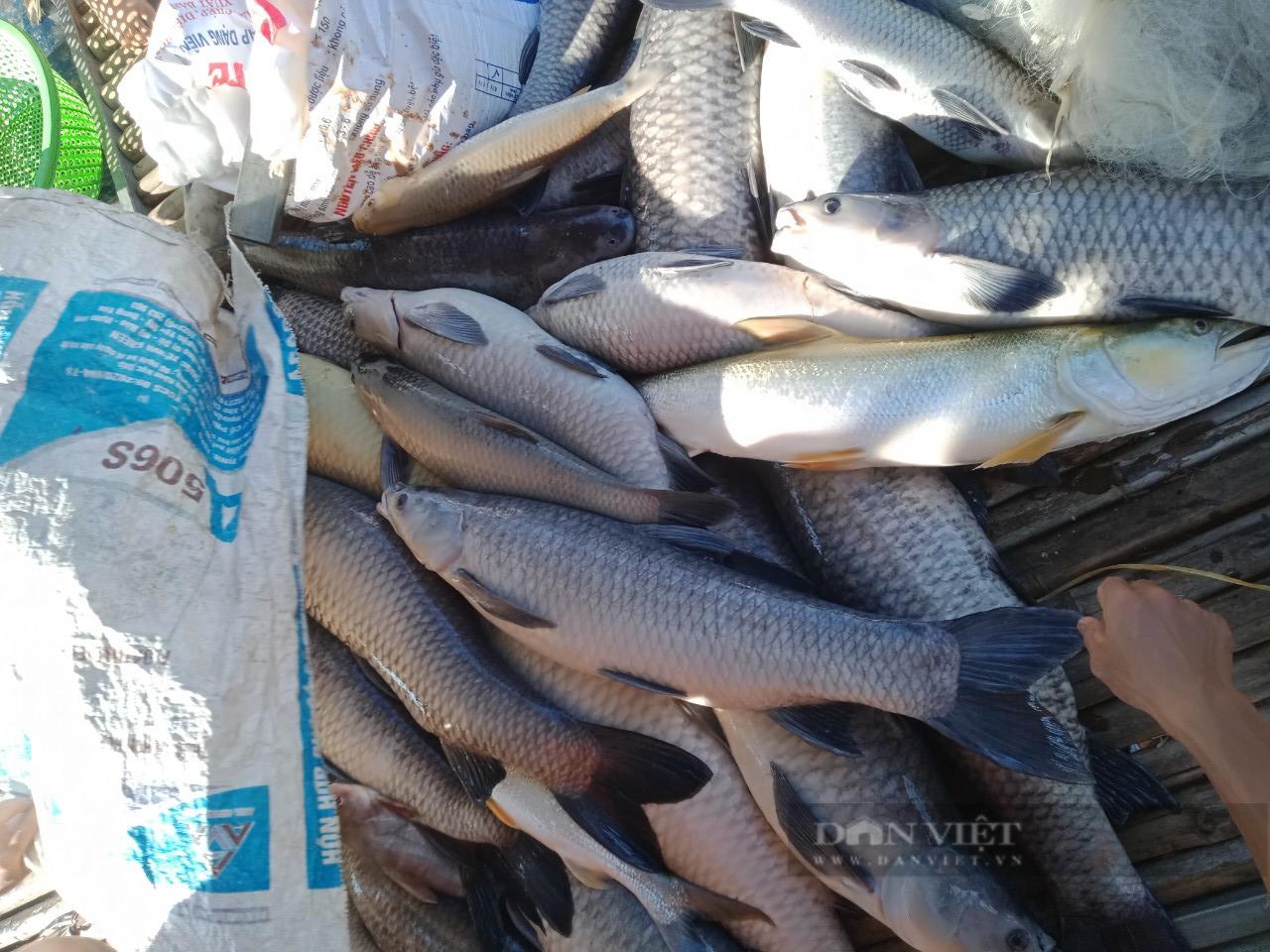 Hoà Bình: Ngư dân nuôi cá lồng bè khóc ròng nhìn cá chết trắng  - Ảnh 5.
