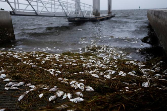 Cá chết hàng loạt khi bão Elsa đổ bộ - Ảnh 4.