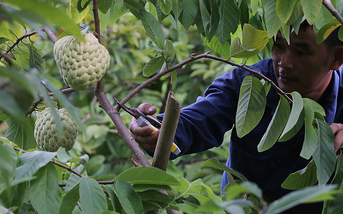 Lạng Sơn: Na chuẩn bị xuống núi, kho báu 1.000 tỷ đồng chờ nông dân thu hoạch