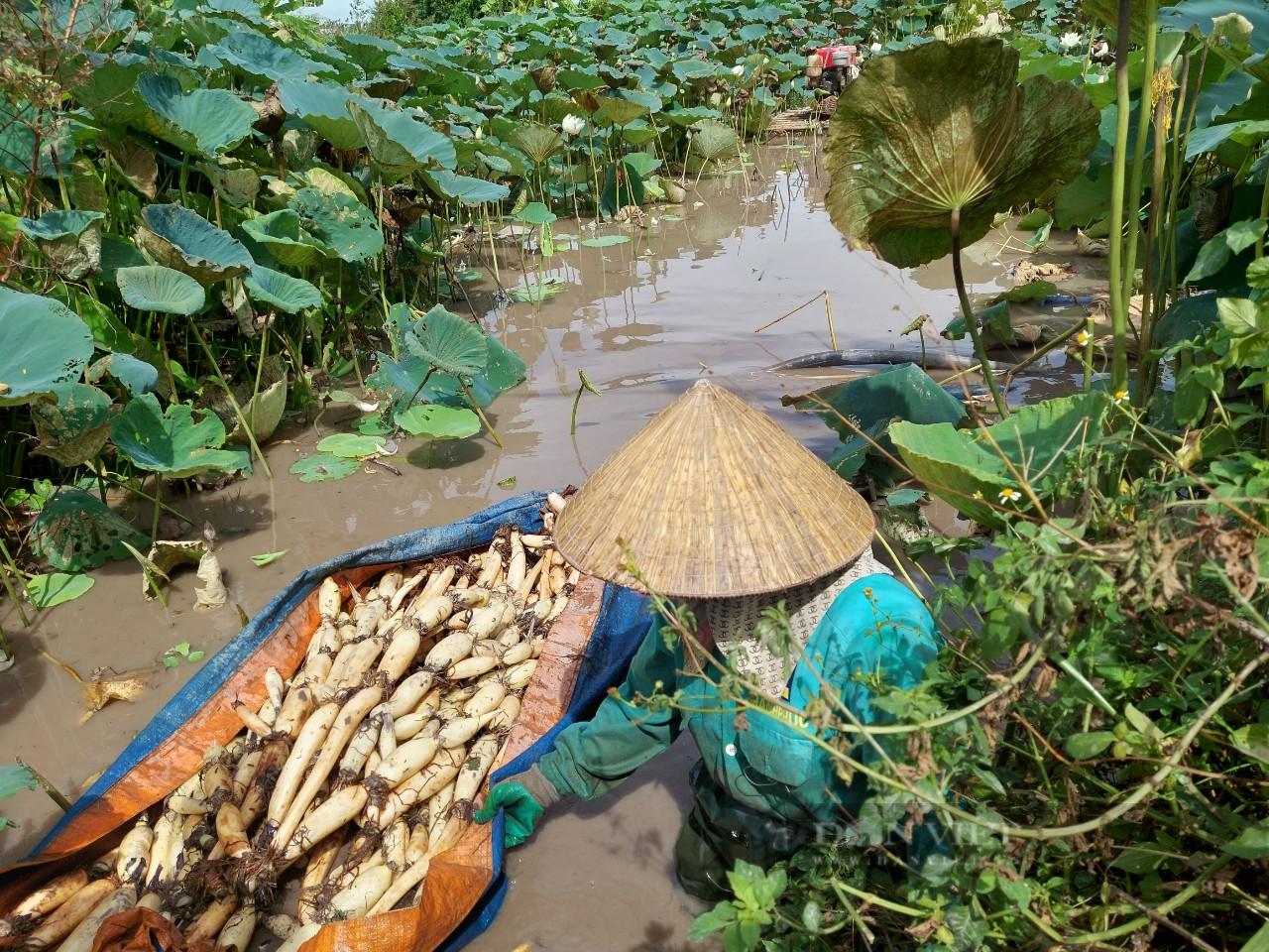 Hải Phòng: Nông dân trồng thứ cây tốt bời bời, bán được tất cả từ lá đến củ - Ảnh 2.