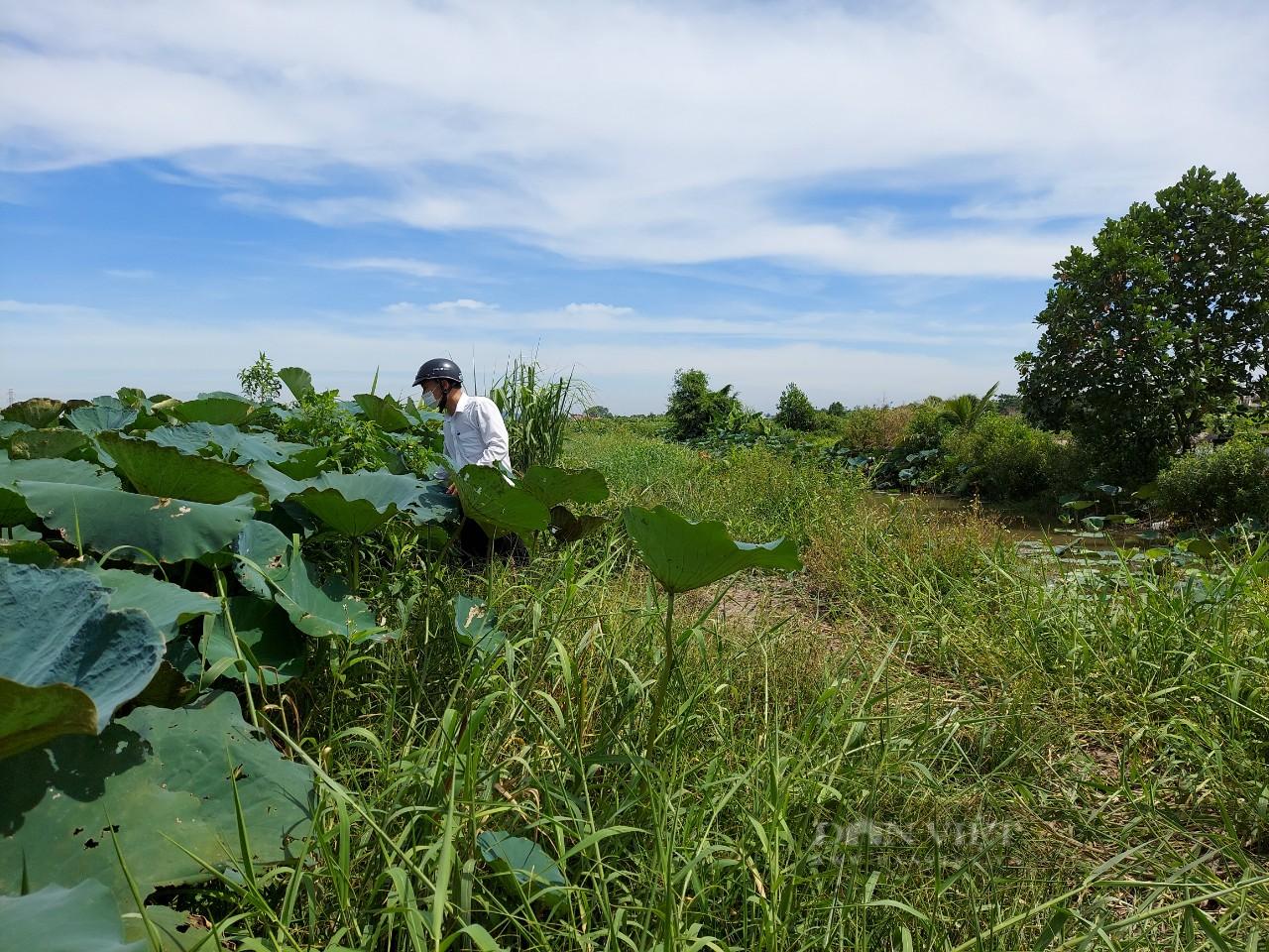 Hải Phòng: Nông dân trồng thứ cây tốt bời bời, bán được tất cả từ lá đến củ - Ảnh 3.