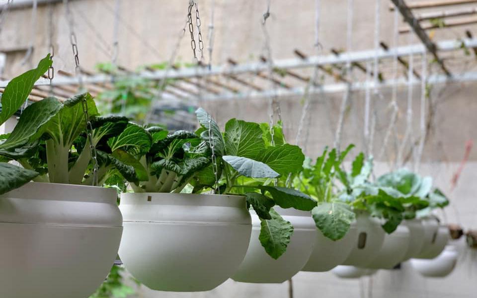 Vườn rau treo tại nhà vừa tiết kiệm diện tích, vừa cho rau sạch mơn mởn