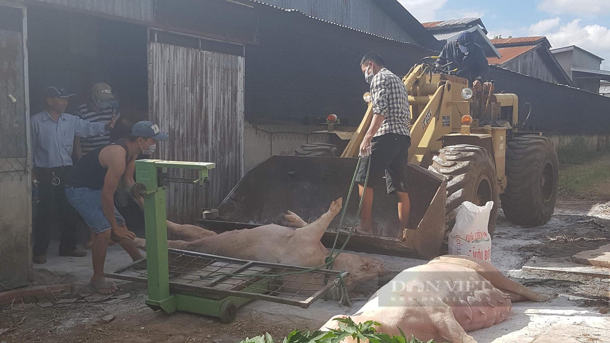 Lâm Đồng: Khoanh vùng, xử lý ổ dịch tả lợn Châu Phi tại huyện Di Linh - Ảnh 1.