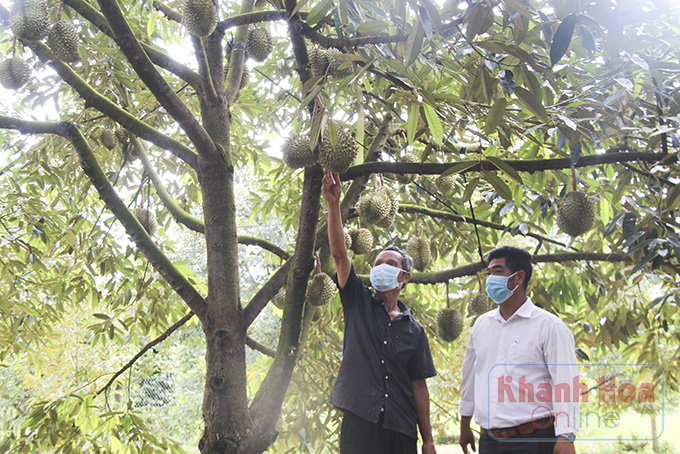 Covid-19 Khánh Hòa: Trái cây đặc sản Khánh Sơn trúng mùa chưa từng thấy, nhìn cây trĩu trái mà dân lo ngay ngáy - Ảnh 2.