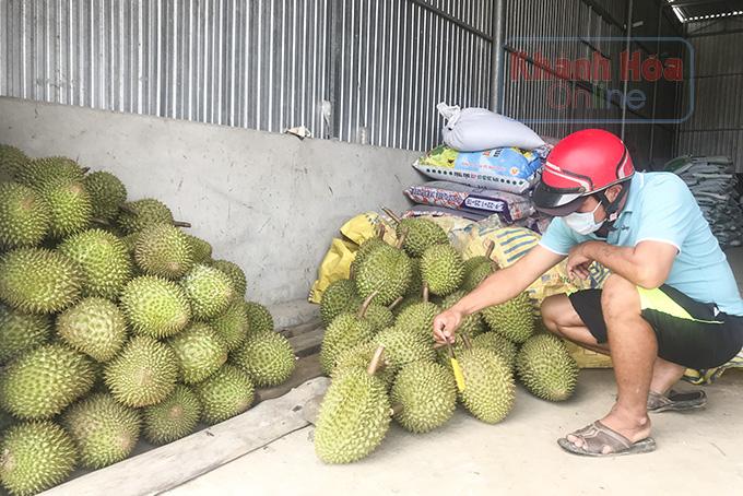 Covid-19 Khánh Hòa: Trái cây đặc sản Khánh Sơn trúng mùa chưa từng thấy, nhìn cây trĩu trái mà dân lo ngay ngáy - Ảnh 4.