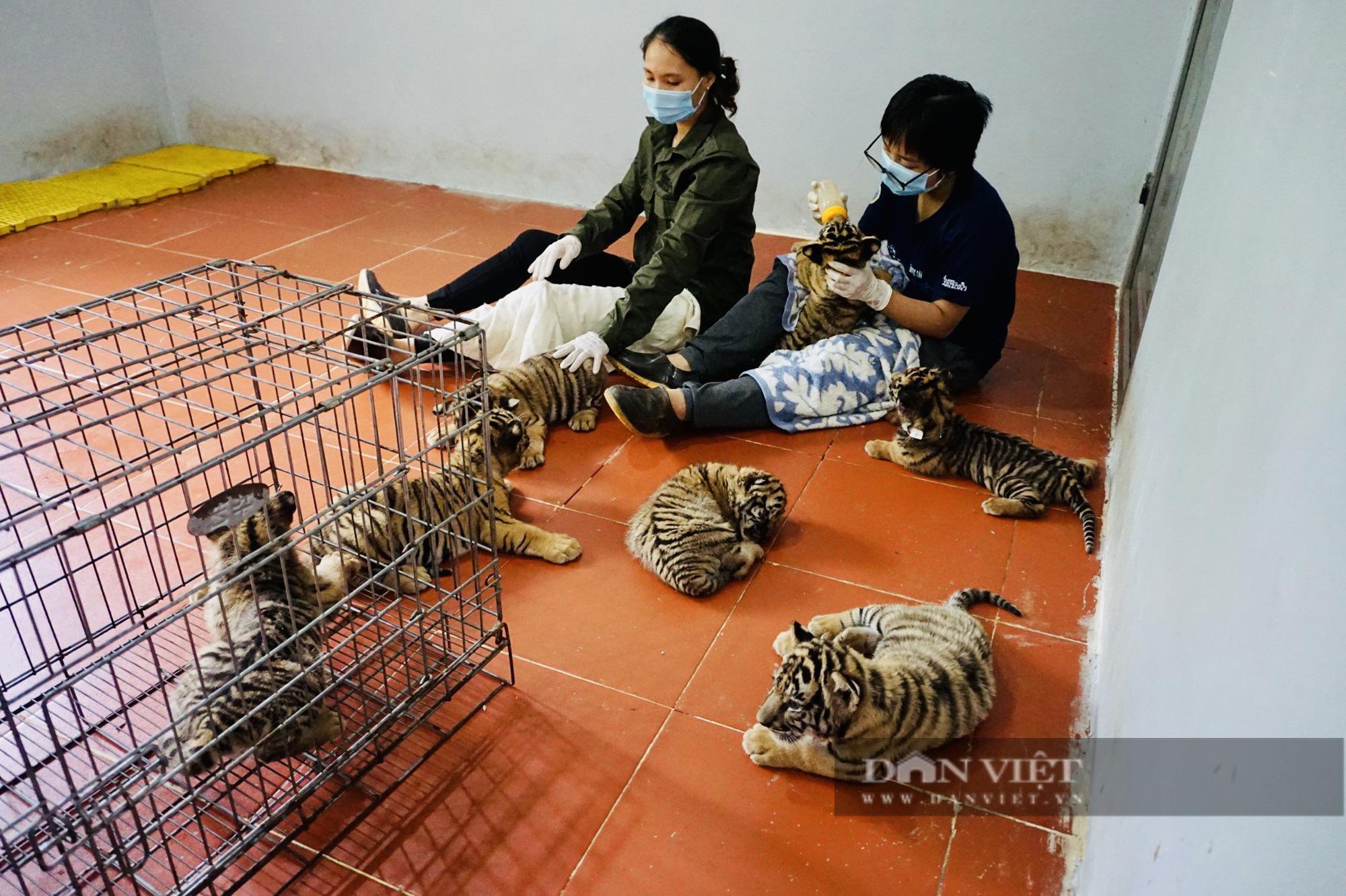 7 cá thể hổ nhỏ vừa được giải cứu và quy trình chăm sóc đặc biệt - Ảnh 1.