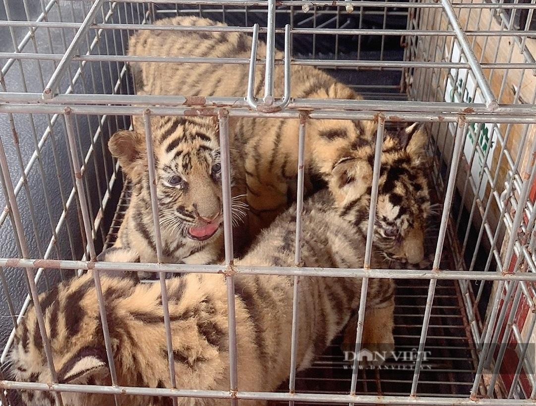 7 cá thể hổ nhỏ vừa được giải cứu và quy trình chăm sóc đặc biệt - Ảnh 6.
