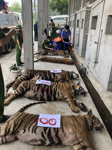 Thông điệp mở mắt từ 8 con hổ đã vĩnh viễn nhắm mắt - Ảnh 1.