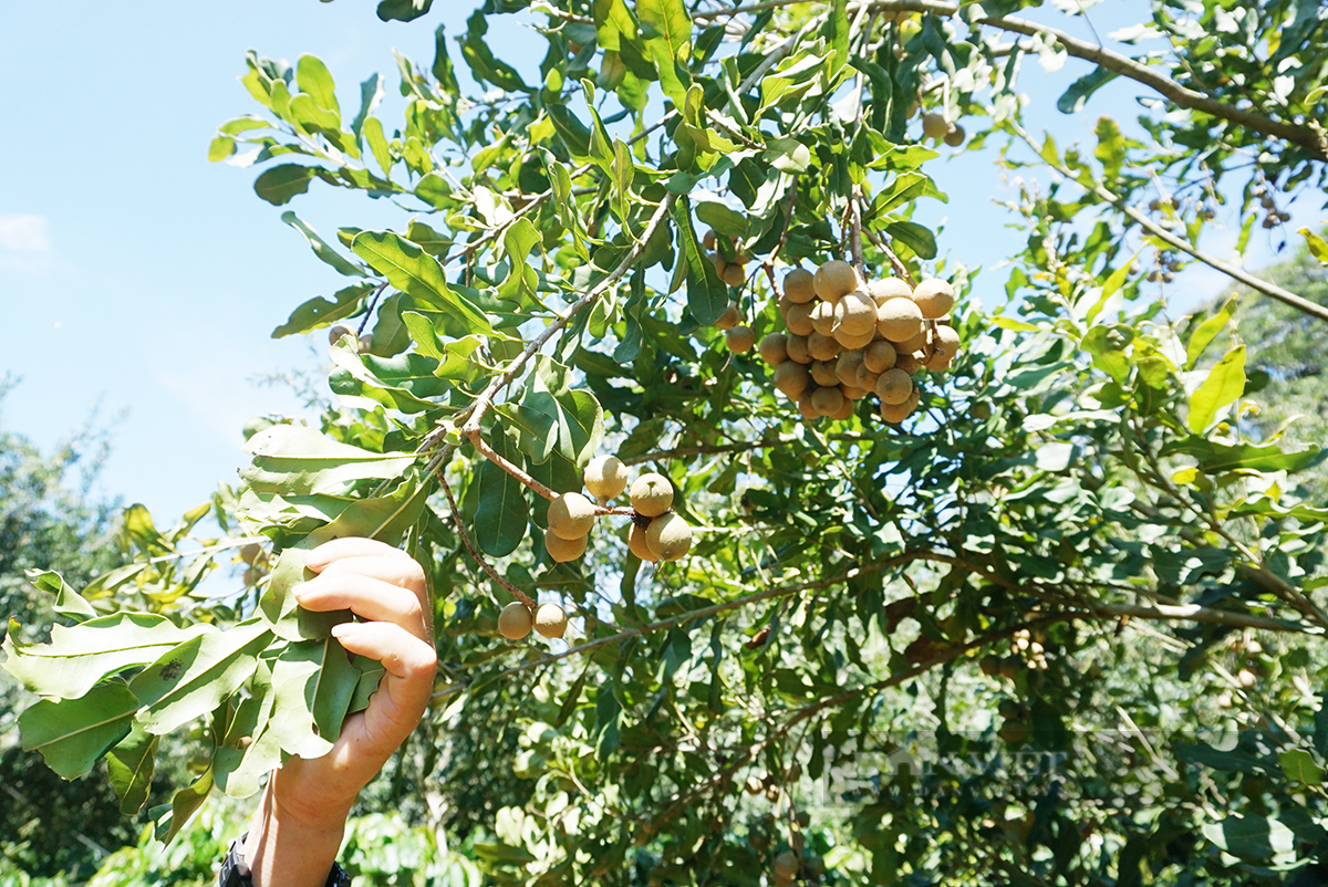 """Nhờ """"cây xóa nghèo"""", anh nông dân trồng thập cẩm thu hơn 400 triệu/ha - Ảnh 4."""