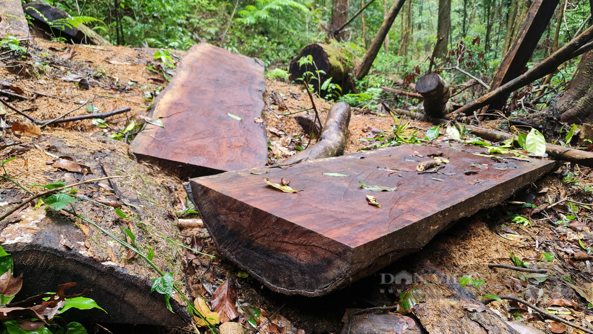 """Lâm Đồng: Hiện trường vụ """"tàn sát"""" rừng dổi tự nhiên ở khu vực giáp ranh của 3 huyện - Ảnh 3."""