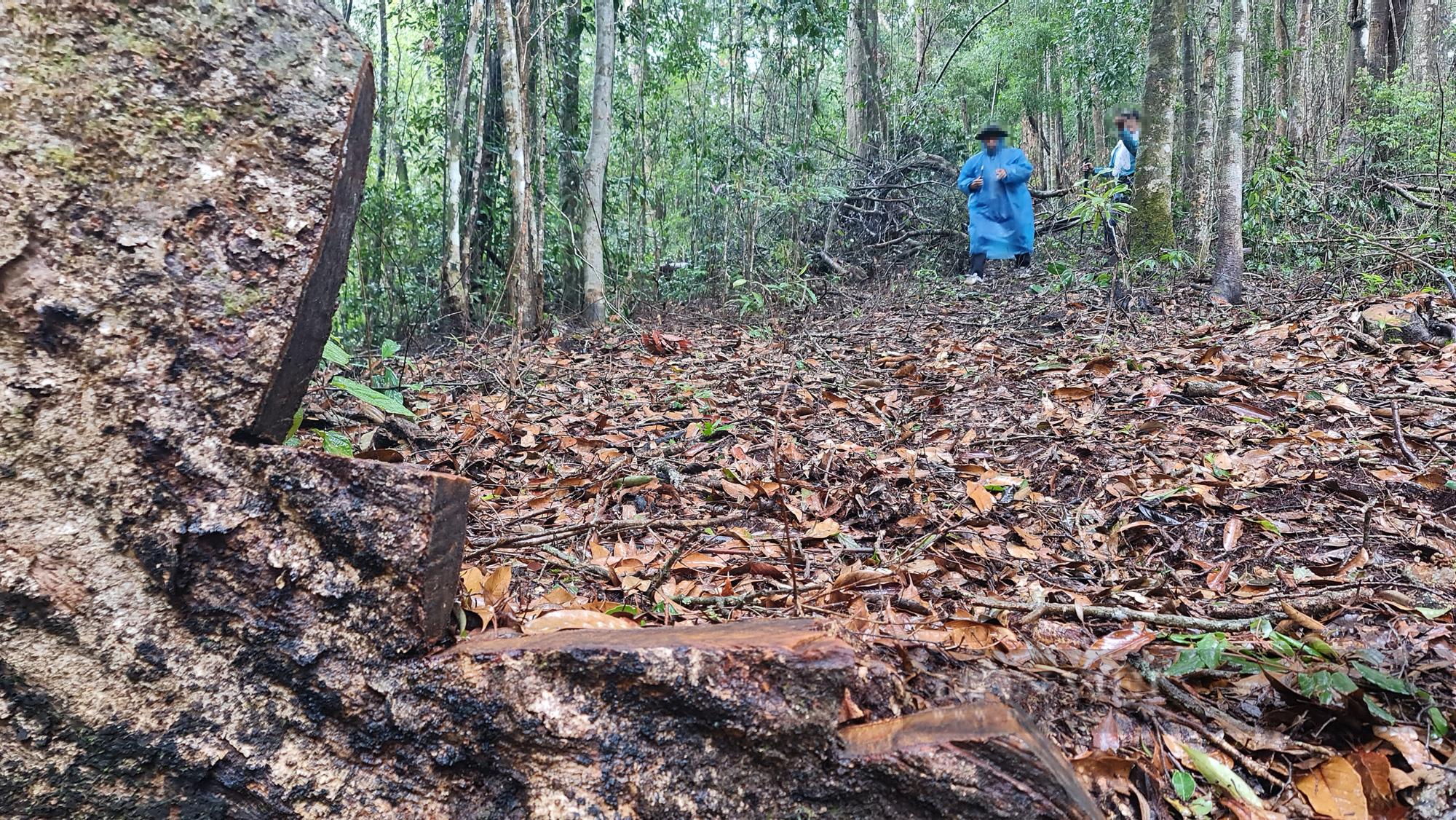 """Lâm Đồng: Hiện trường vụ """"tàn sát"""" rừng dổi tự nhiên ở khu vực giáp ranh của 3 huyện - Ảnh 2."""