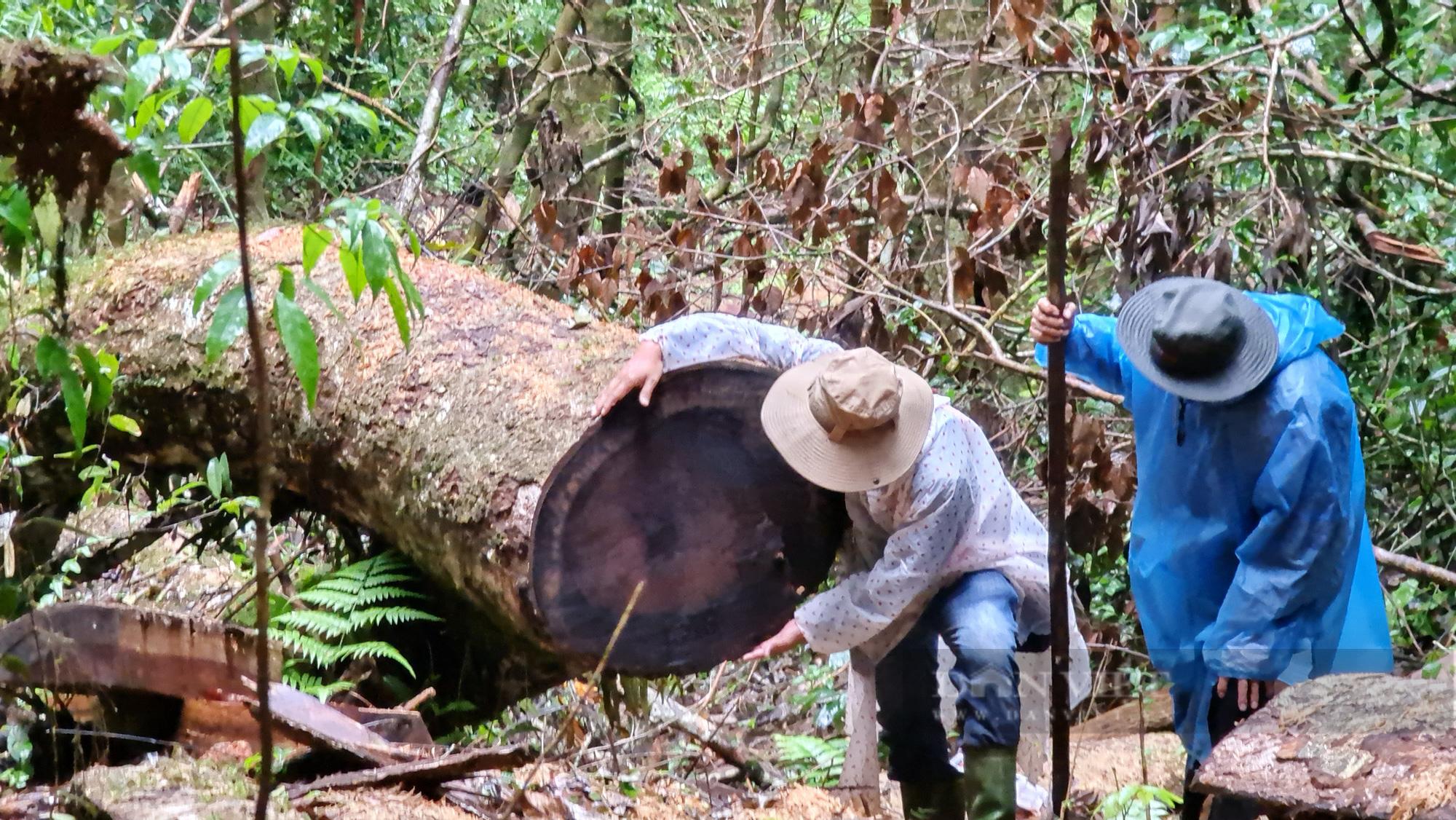 """Lâm Đồng: Hiện trường vụ """"tàn sát"""" rừng dổi tự nhiên ở khu vực giáp ranh của 3 huyện - Ảnh 1."""