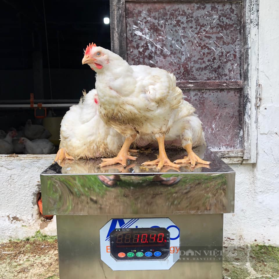 Giá gia cầm hôm nay 2/8: Giá gà, vịt ba miền có biến động, vịt thịt miền Nam khó bán - Ảnh 1.