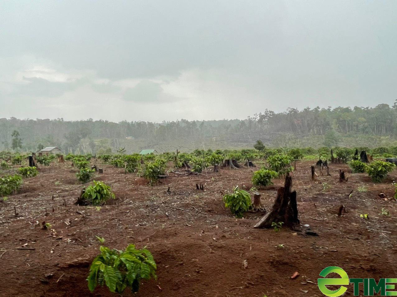 """Đắk Nông: Rừng tự nhiên """"trong trắng, ngoài xanh"""", nhiều doanh nghiệp bị đề nghị thu hồi dự án - Ảnh 2."""