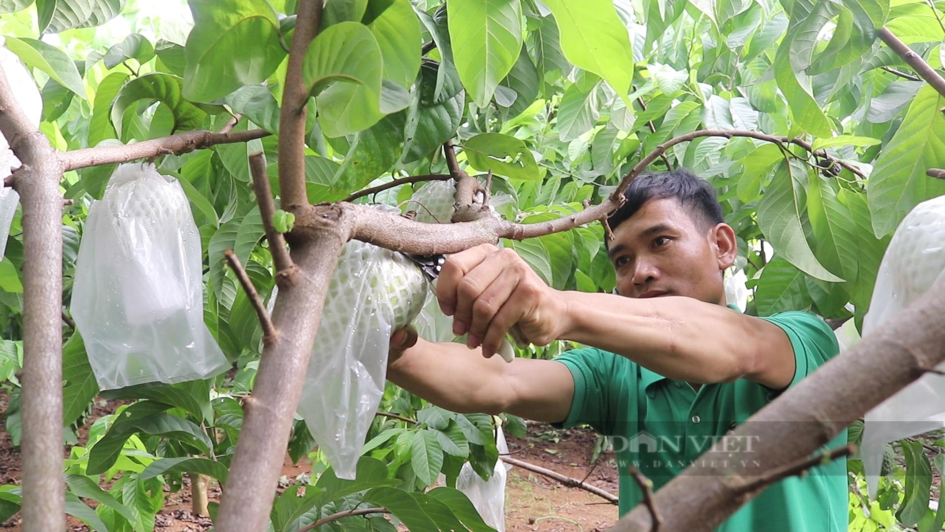 Sơn La: Nông dân người Thái thu tiền tỷ từ loại cây ra trái khổng lồ - Ảnh 3.