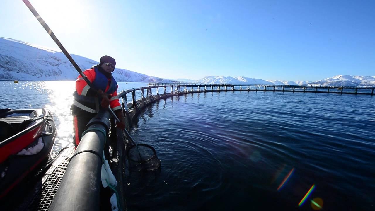 Ngành cá hồi NaUy: Công nghệ xịn sò đáng kinh ngạc, con giống được tiêm vaccine, biết khi nào cá đói, cho ăn bao nhiêu - Ảnh 2.