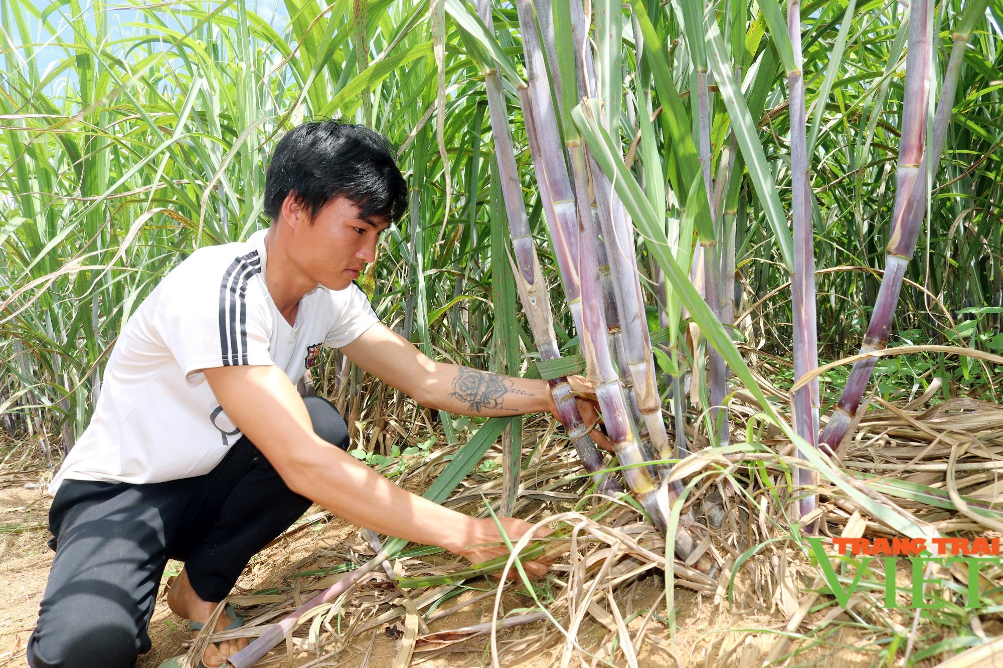 Sơn La: Một nông dân thu 200 triệu mỗi năm nhờ trồng mía - Ảnh 1.