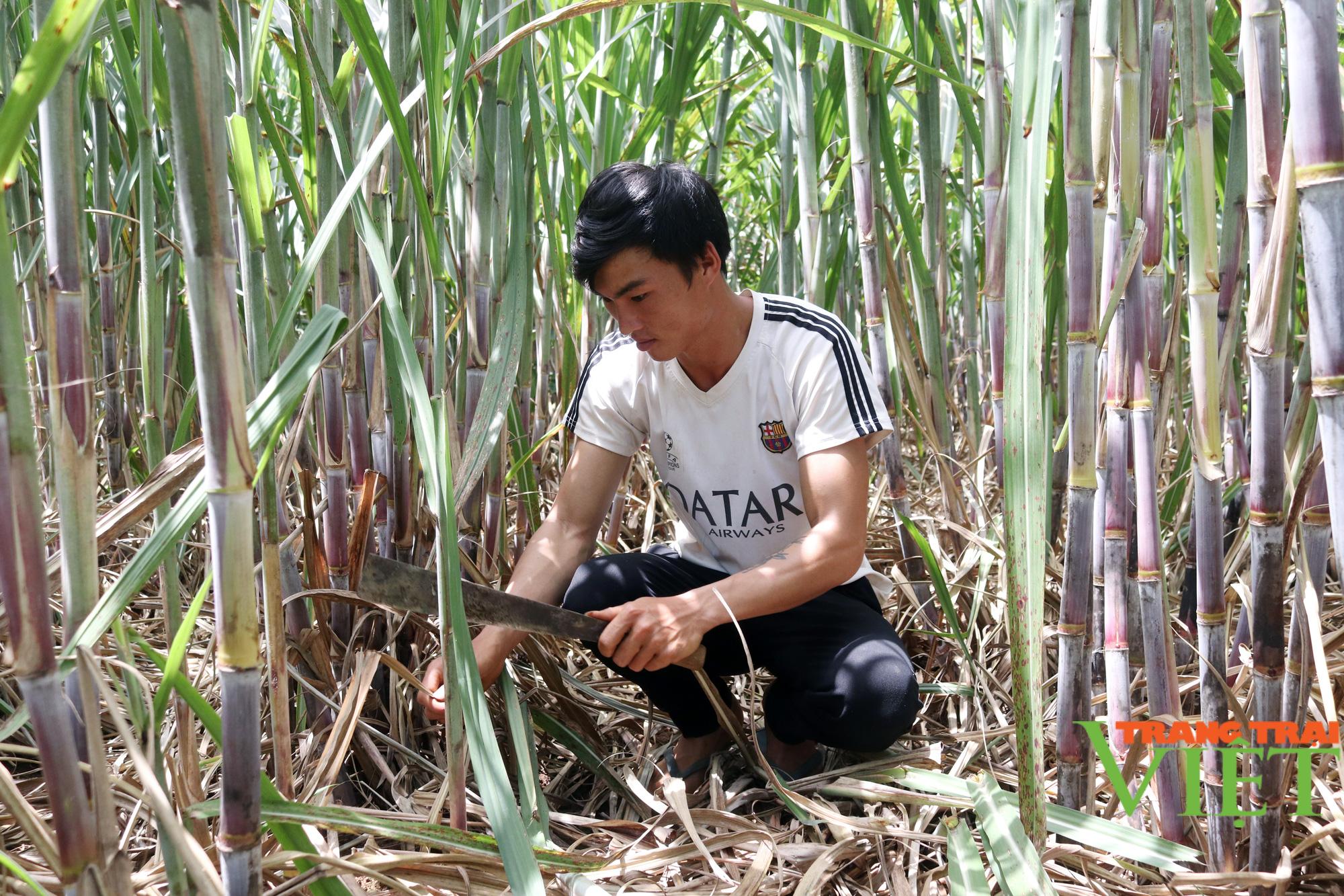 Sơn La: Một nông dân thu 200 triệu mỗi năm nhờ trồng mía - Ảnh 2.