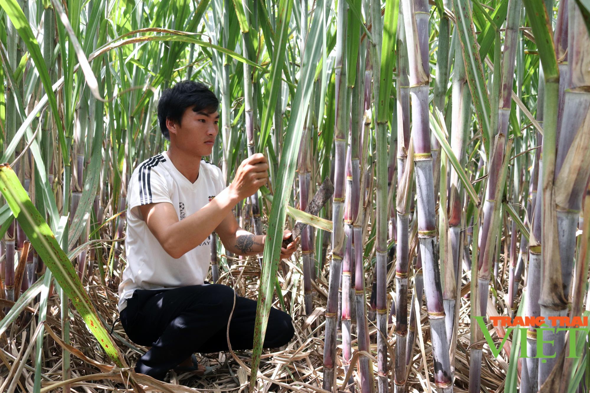 Sơn La: Một nông dân thu 200 triệu mỗi năm nhờ trồng mía - Ảnh 3.