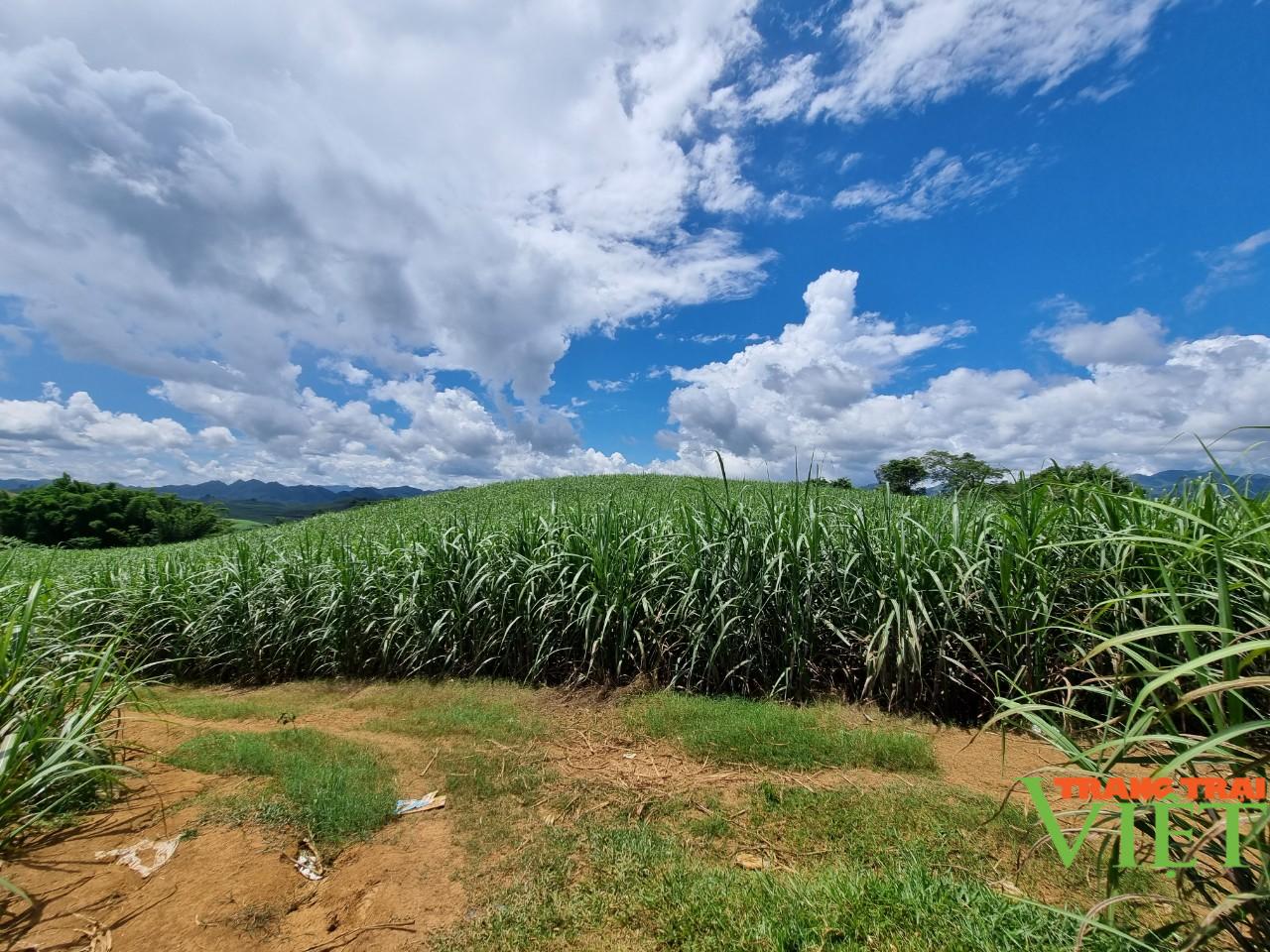 Sơn La: Một nông dân thu 200 triệu mỗi năm nhờ trồng mía - Ảnh 4.