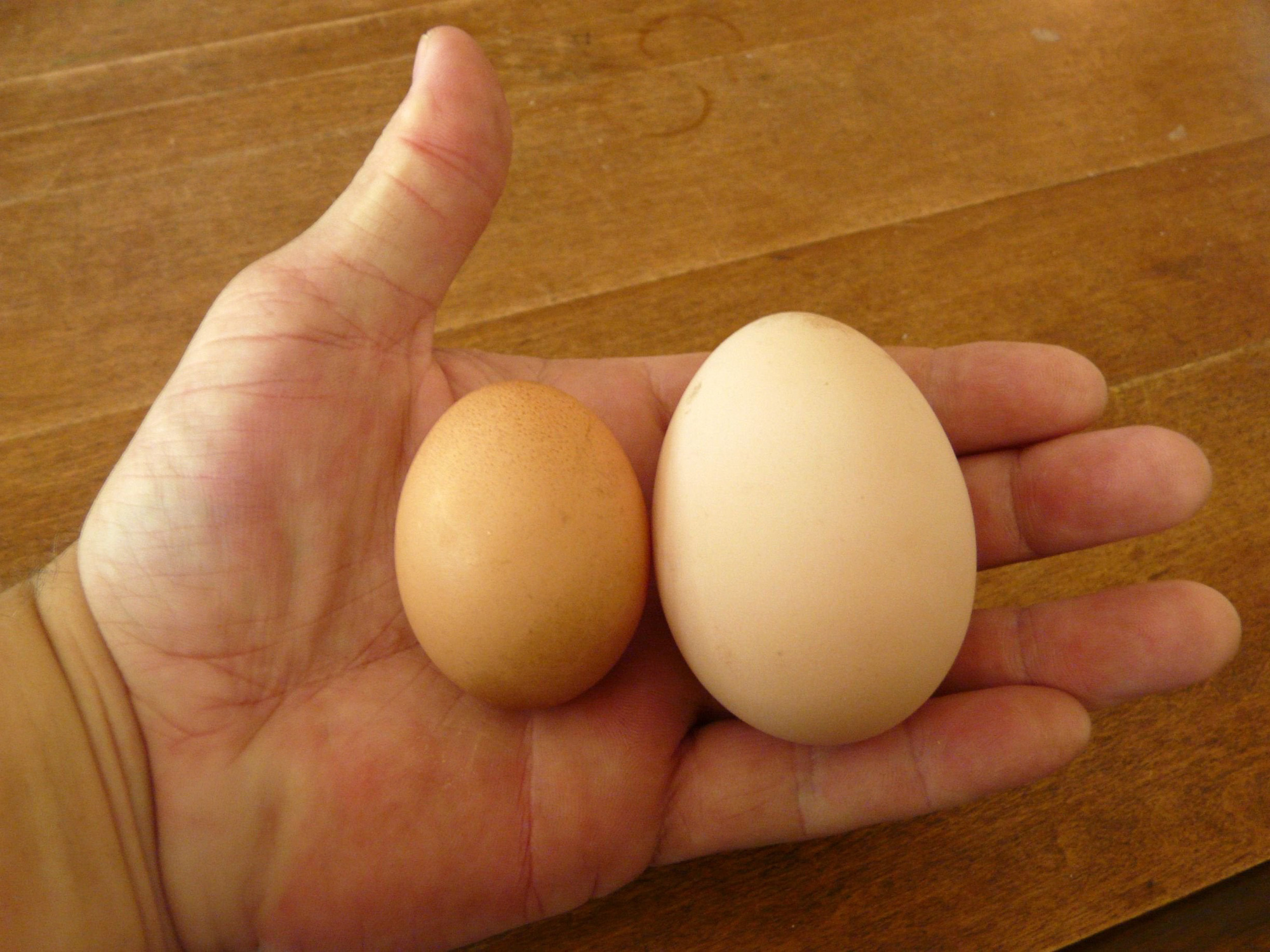 Giống gà thuần chủng siêu to khổng lồ nhất thế giới, nhìn quả trứng gà cứ ngỡ là...trứng ngỗng - Ảnh 11.