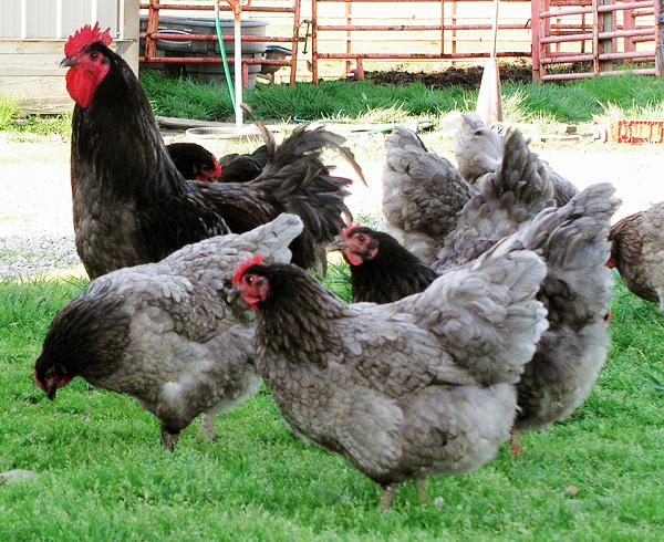 Giống gà thuần chủng siêu to khổng lồ nhất thế giới, nhìn quả trứng gà cứ ngỡ là...trứng ngỗng - Ảnh 4.