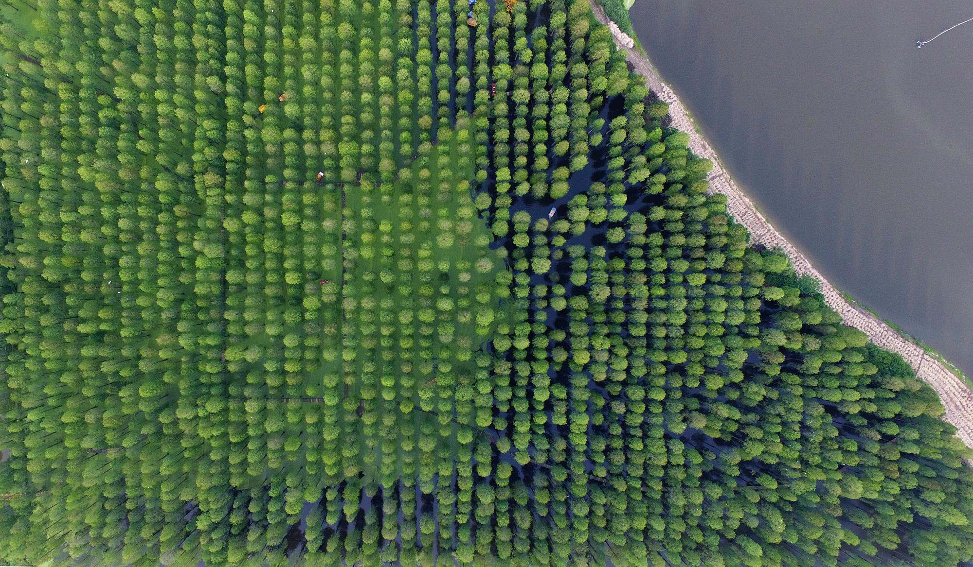 Chiêm ngưỡng vẻ đẹp lạ lùng của rừng tùng và thủy sam gỗ đỏ quý hiếm ở Trung Quốc - Ảnh 7.