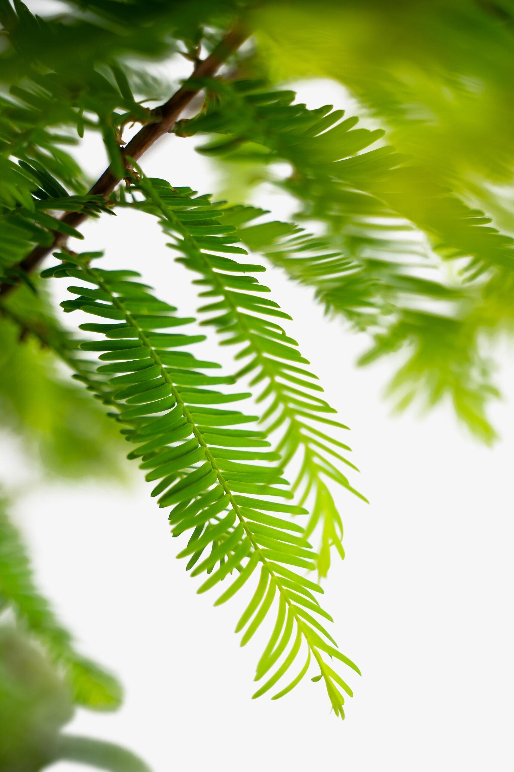 Chiêm ngưỡng vẻ đẹp lạ lùng của rừng tùng và thủy sam gỗ đỏ quý hiếm ở Trung Quốc - Ảnh 6.