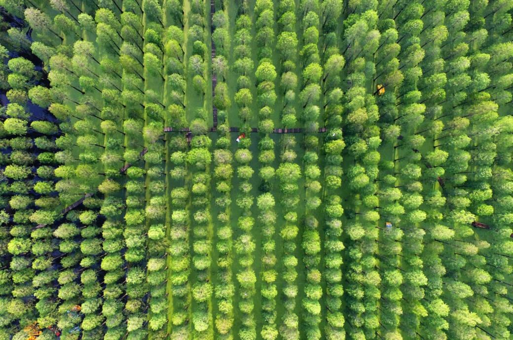 Chiêm ngưỡng vẻ đẹp lạ lùng của rừng tùng và thủy sam gỗ đỏ quý hiếm ở Trung Quốc - Ảnh 3.