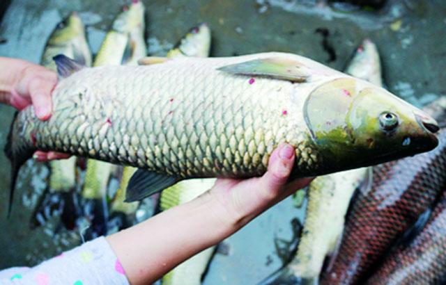 Cá trong được ông Kiều vớt lên để hỗ trợ người dân trong ấp. Ảnh: Hội Nông Dân Bình Phước
