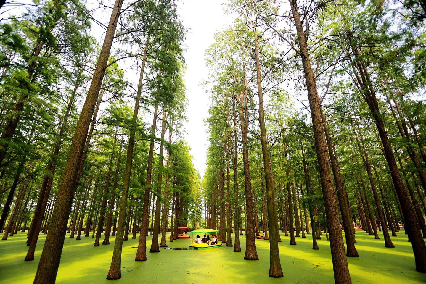 Chiêm ngưỡng vẻ đẹp lạ lùng của rừng tùng và thủy sam gỗ đỏ quý hiếm ở Trung Quốc - Ảnh 1.
