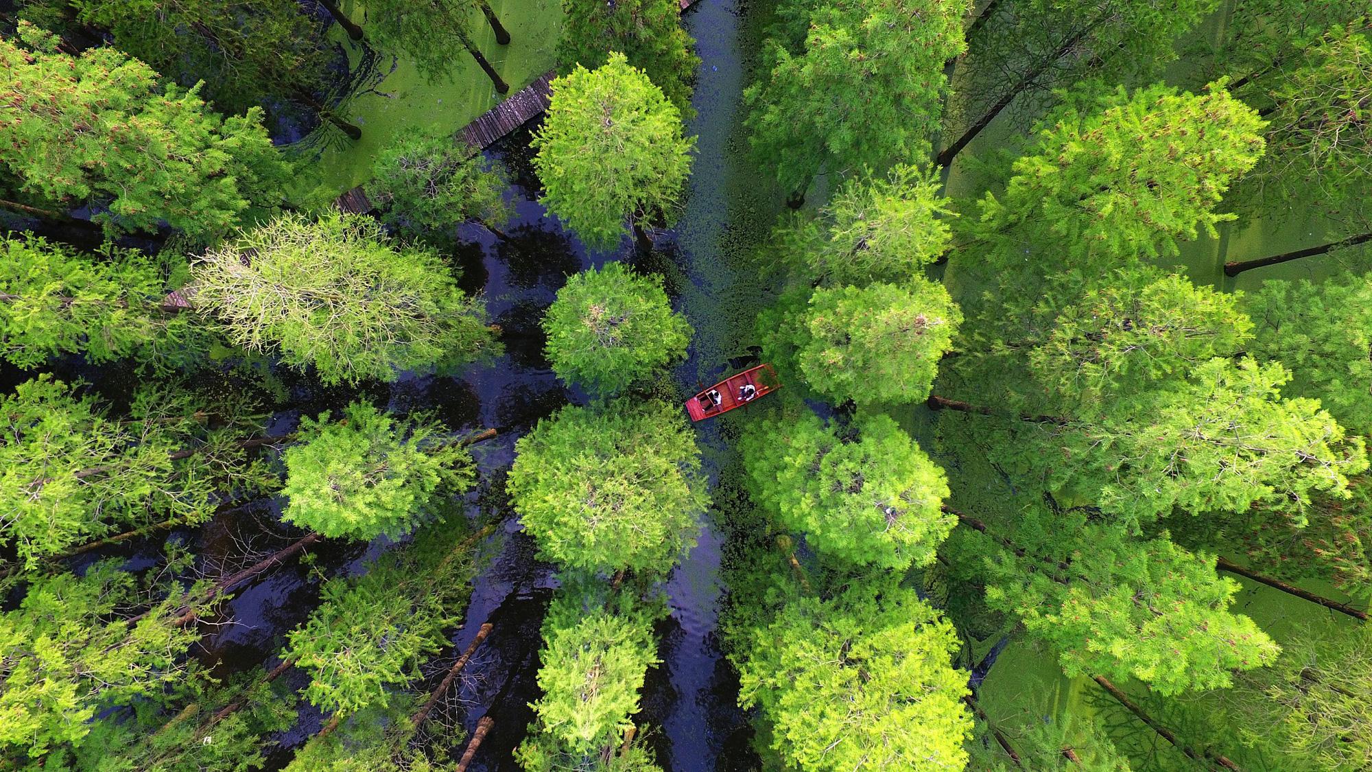 Chiêm ngưỡng vẻ đẹp lạ lùng của rừng tùng và thủy sam gỗ đỏ quý hiếm ở Trung Quốc - Ảnh 5.