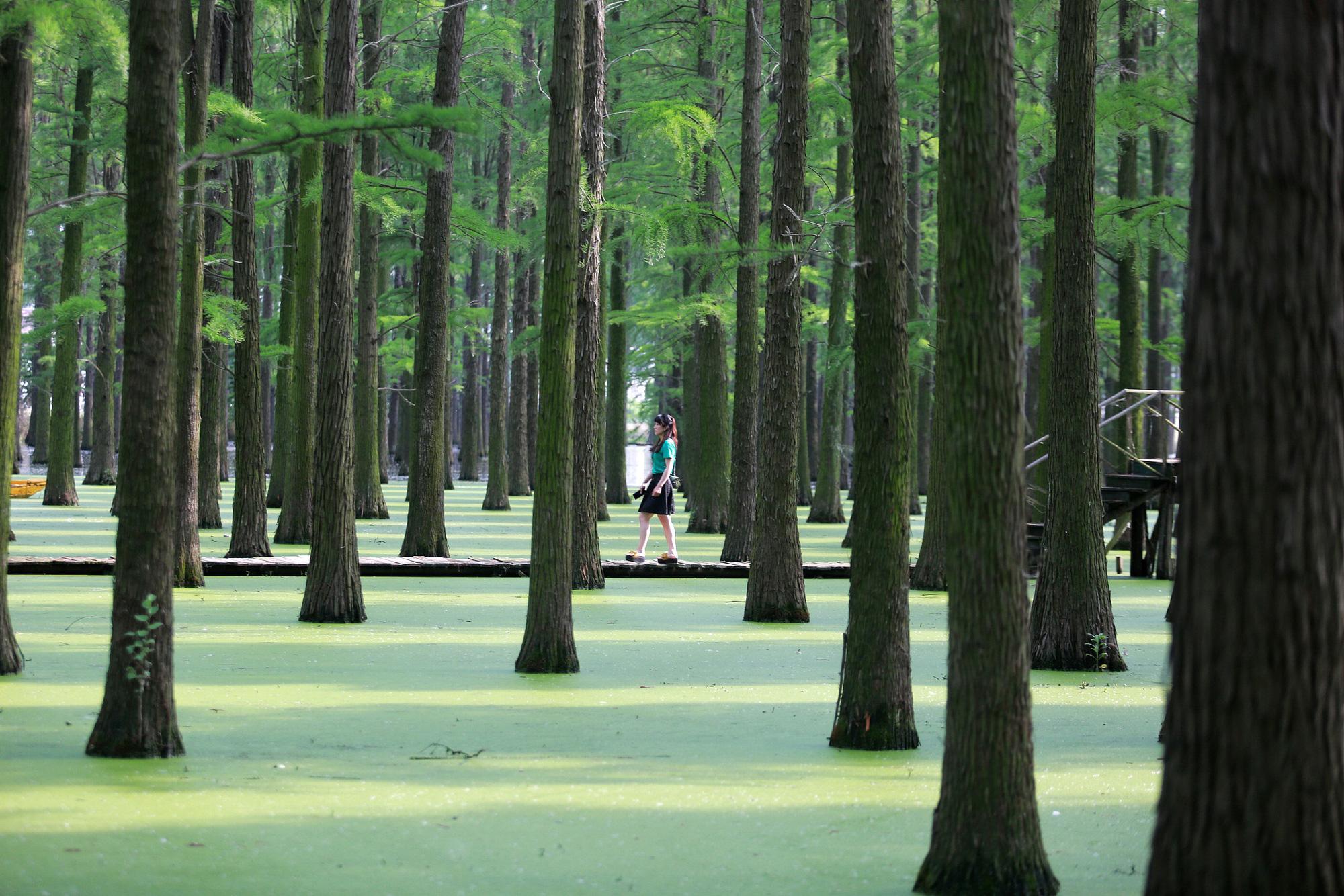 Chiêm ngưỡng vẻ đẹp lạ lùng của rừng tùng và thủy sam gỗ đỏ quý hiếm ở Trung Quốc - Ảnh 2.