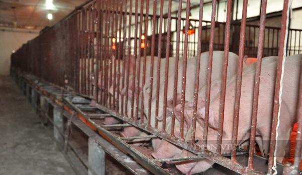 Giá heo hơi hôm nay 3/8: Cập nhật giá lợn hơi mới nhất tại các vùng, giá heo giống giảm dần - Ảnh 2.
