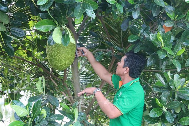Tiền Giang: Giá mít Thái tăng gần gấp đôi, nông dân trồng mít thở phào nhẹ cả người - Ảnh 1.
