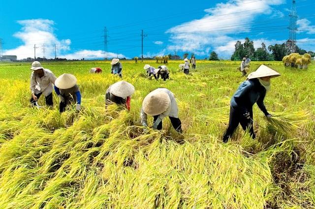 Được mùa rớt giá, Bộ NN&PTNT đề xuất tăng thu mua tạm trữ lúa Hè Thu - Ảnh 1.