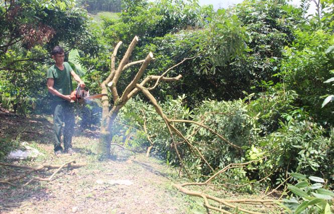 """Thái Nguyên: Cây """"mũi nhọn"""" là cây gì mà dân làng này chặt bỏ vô số, nhiều người nhìn thấy xót ruột? - Ảnh 1."""