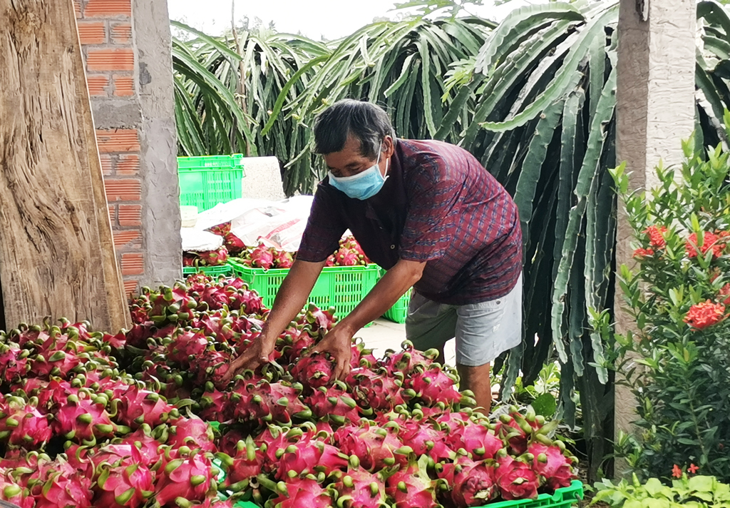 Trung Quốc tạm dừng nhập khẩu thanh long tại một số cửa khẩu, đại diện doanh nghiệp kiến nghị khẩn - Ảnh 1.